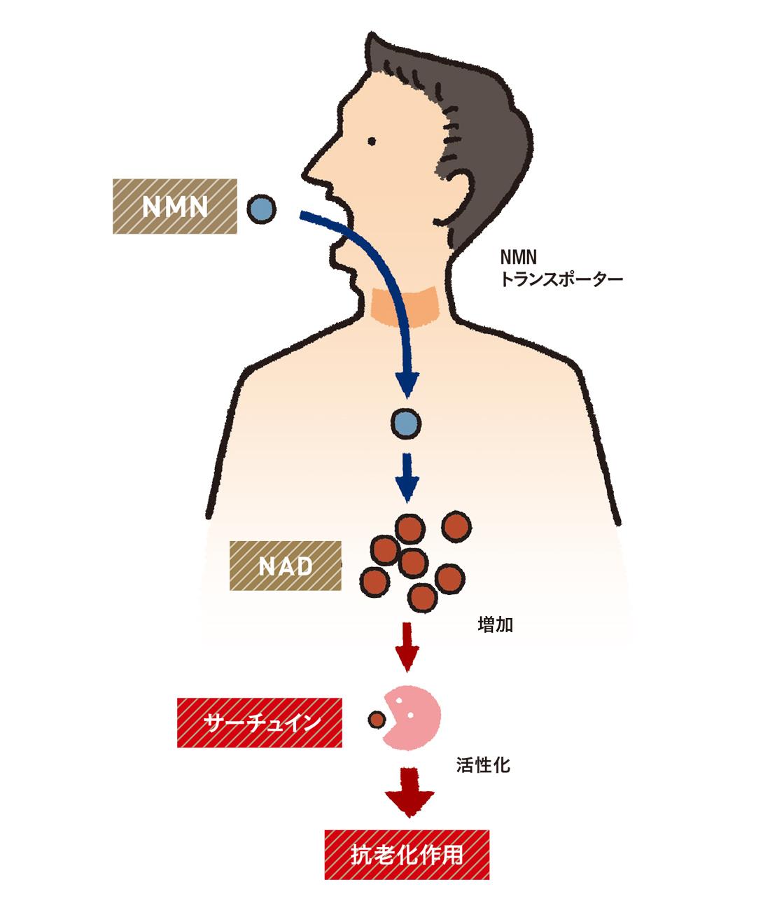 NMNが老化を制御する仕組み